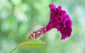 Picture macro, nature, exotic, Celosia comb
