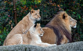 Wallpaper Leo, stone, cats, zoo, pride, lie, nature, background, stay, autumn, branches, family, lioness, leaves, wild ...
