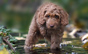 Picture look, water, dog, Labradoodle