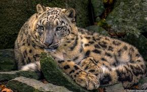 Picture predator, lies, IRBIS, snow leopard, wild cat
