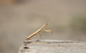 Picture background, mantis, insect, log