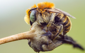 Picture eyes, macro, nature, bee, background, pollen, plant, insect, bumblebee, details, striped, body, details, serdca