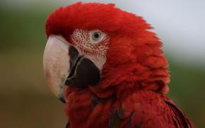 Picture red, bird, Parrot, Ara
