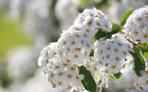 Picture Bokeh, Bokeh, White flowers, White flowers