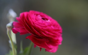 Picture flower, macro, Bud, Persian Buttercup