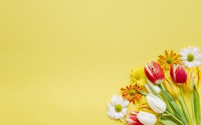 Wallpaper chrysanthemum, background, Tulips, flowers