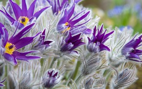 Picture flowers, purple, bokeh, closeup, cross