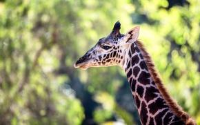 Picture large, giraffe, color, neck