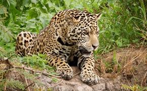 Picture predator, lies, Jaguar, wild cat