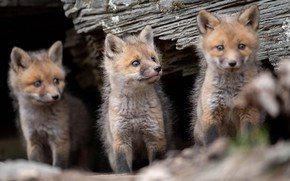 Picture Fox, trio, cubs, cubs, Trinity