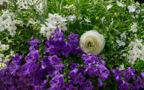 Picture greens, summer, flowers, garden, purple, white, bells, flowerbed, lilac, composition, Ranunculus