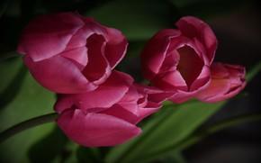 Wallpaper background, tulips, flowers