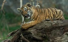 Picture nature, animal, predator, snag, cub, tiger