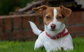 Picture grass, look, dog, puppy, collar, doggie, Jack Russell Terrier