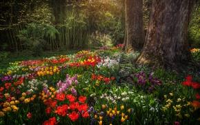 Picture trees, flowers, Park, Germany, tulips, Germany, daffodils, Baden-Württemberg, Baden-Württemberg, Mainau, Mainau island