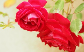 Picture macro, roses, petals, two roses, red roses