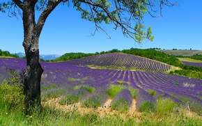 Picture summer, grass, the sun, branches, tree, hills, France, field, lavender, Puimichel