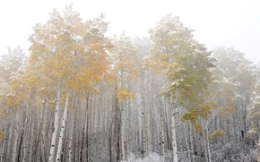 Picture forest, fog, birch