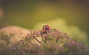 Picture background, pair, ladybugs