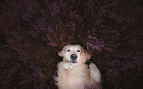 Picture look, face, mood, dog, paws, lavender, Golden Retriever, Golden Retriever