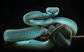 Wallpaper snake, Balogova keffiyeh, Trimeresurus albolabris, category alkoholowe