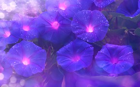 Wallpaper drops, Rosa, Liana, morning glory, bokeh, leaves, purple, nature, background, eel, flowers