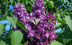 Picture butterfly, may, lilac