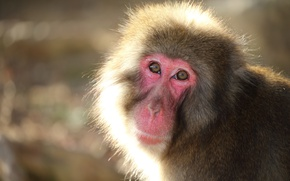 Picture look, nature, background, Snow monkey
