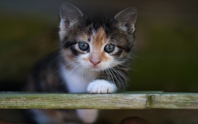 Picture cat, cat, look, kitty, background, portrait, blur, baby, muzzle, Board, kitty, motley