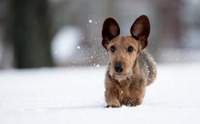 Wallpaper winter, snow, dog, walk