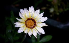 Picture Macro, Drops, Macro, Drops, White flower, White flower