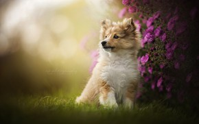 Picture flowers, portrait, dog, puppy, Sheltie, Shetland Sheepdog