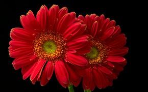 Picture macro, red, gerbera