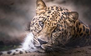 Picture leopard, head, look, portrait