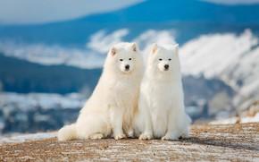 Picture white, pair, breed, Samoyed
