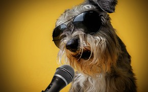 Picture yellow, background, humor, glasses, microphone, singer, sings, Schnauzer