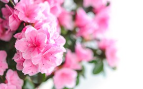 Picture flowers, bouquet, pink