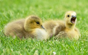 Picture yellow, young, Chicks, feathers, the goslings