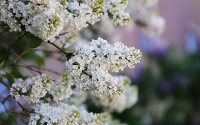 Picture branches, background, lilac