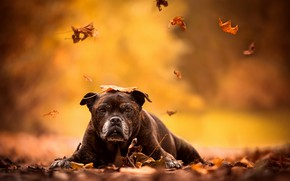 Wallpaper each, autumn, dog