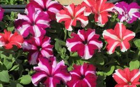 Picture flowers, Petunia, striped, petunias, spring 2018, Mamala ©
