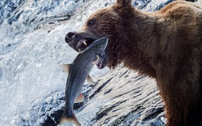 Picture water, river, fishing, fish, bear, Alaska, grizzly, catch