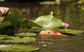 Picture leaves, Fish, pond