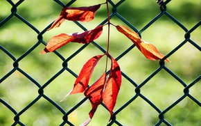 Picture leaves, the fence, branch
