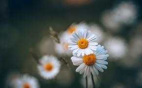 Wallpaper flowers, chamomile, summer