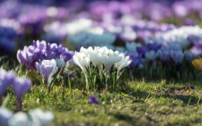 Picture flowers, nature, glade, Spring, crocuses