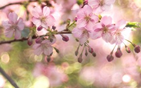 Picture cherry, tenderness, branch, spring