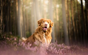 Picture forest, dog, Heather, Nova Scotia duck tolling Retriever