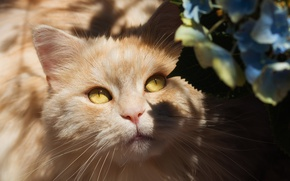 Wallpaper cat, eyes, fluffy, chiaroscuro, peach, hydrangea, face, shadows, yellow eyes, light, cat, flowers, look, portrait