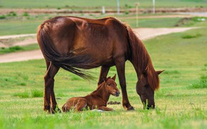 Picture field, summer, horse, horses, horse, mother, foal, he has Bay